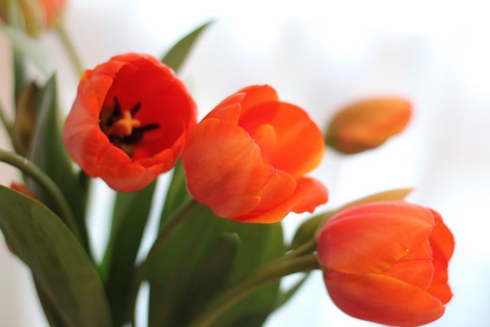 cuidar-tulipanes (2)