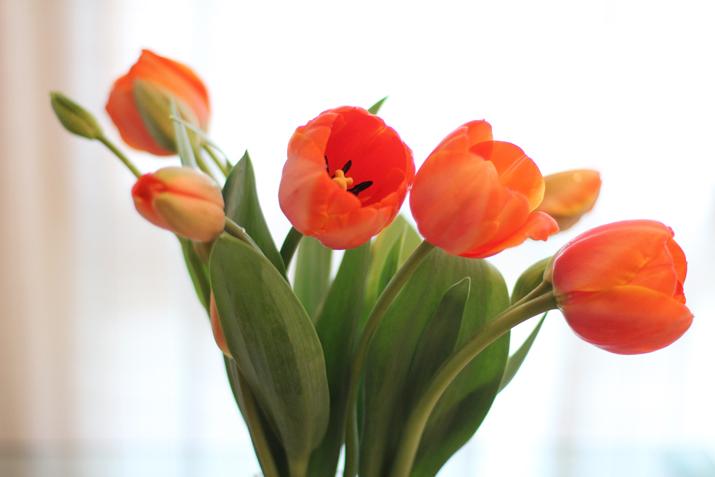 tulips-care (4)